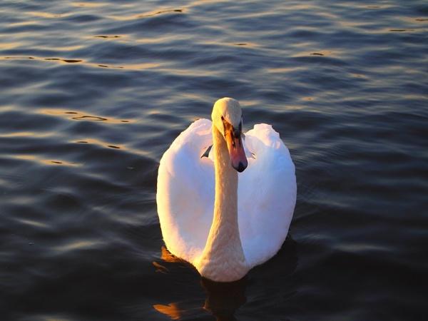 Elegant Swan by janiekinns