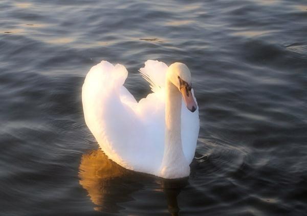 Swan Elegance by janiekinns