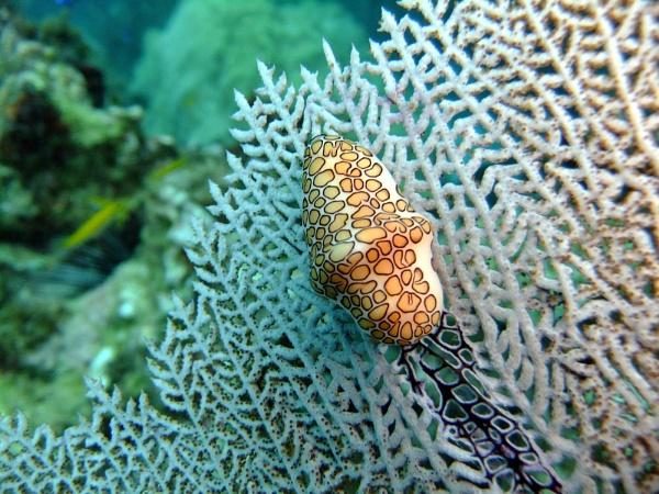 Nudibranch in Jamica