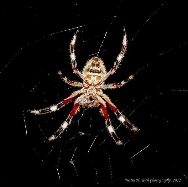 Orb spider underside. by Jayar