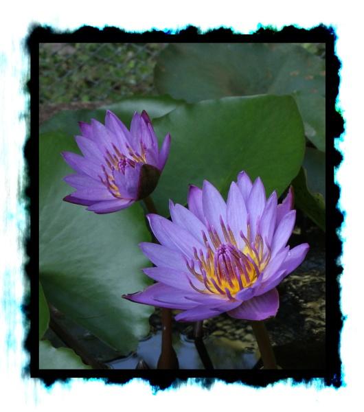Violet ones.. by santosh275