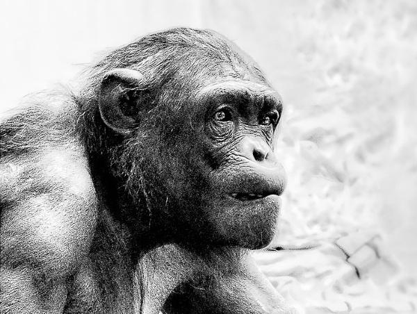 Chimp by thatmanbrian