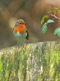 Robin 3 (Erithacus rubecula)