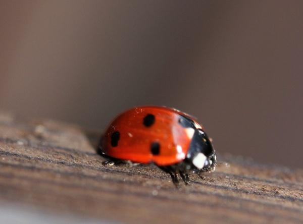 ladybird by bertie1983