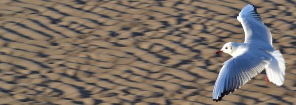 Gull in Flight by WeeGeordieLass