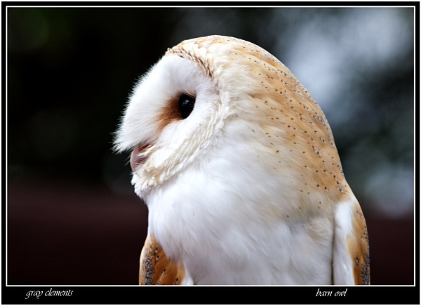 barn owl by GRAYCLEMENTS