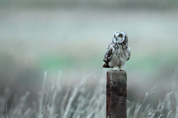 Contemplation  .... Short eared owl by wardsteven