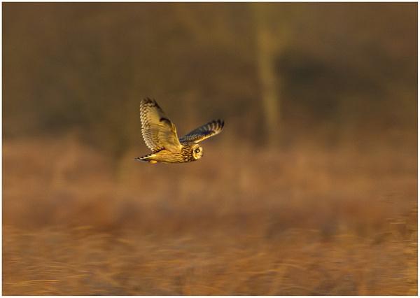 Short Eared Owl (Asio flammeus) by MossyOak
