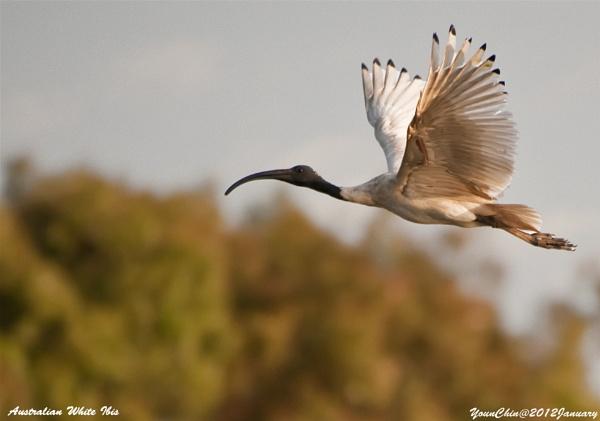 Australian White Ibis by Ycmah