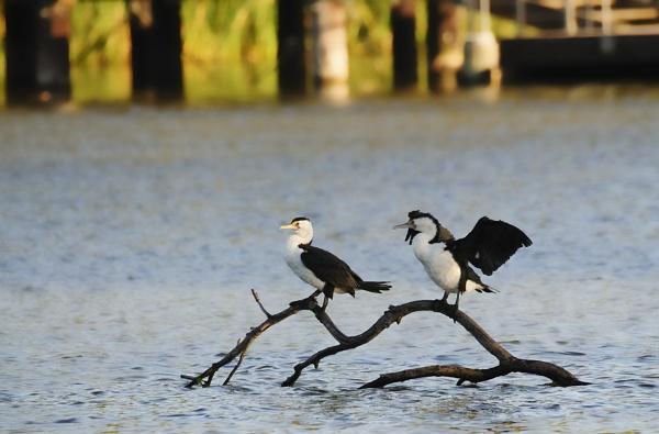 Two Cormorants by Ycmah