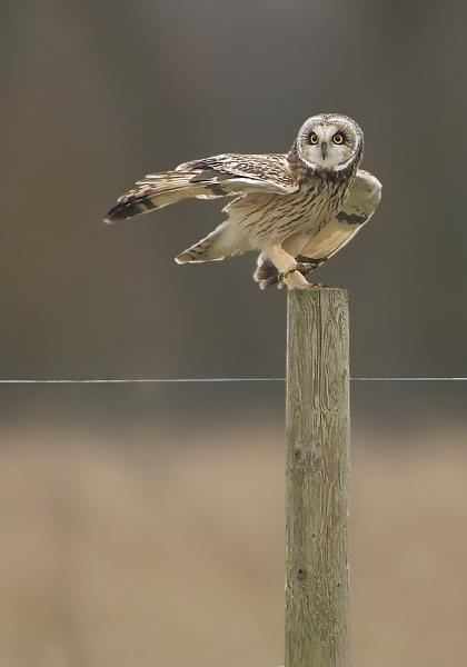 Short eared owl on post by Steve_S