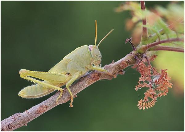Grasshopper Nymph by Glynn