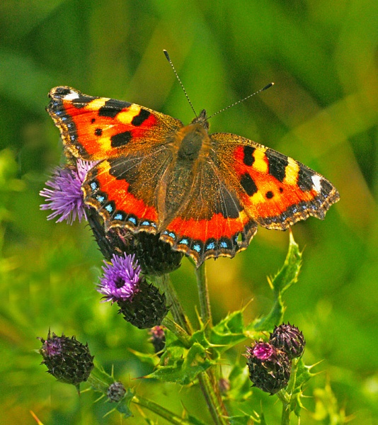 Small Tortoiseshell Butterfly by bobrolybbb