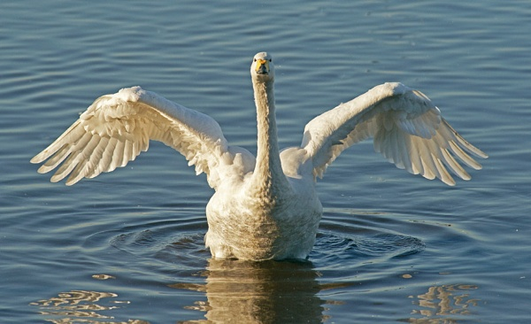 Whooper Swan or Angel? by bobrolybbb