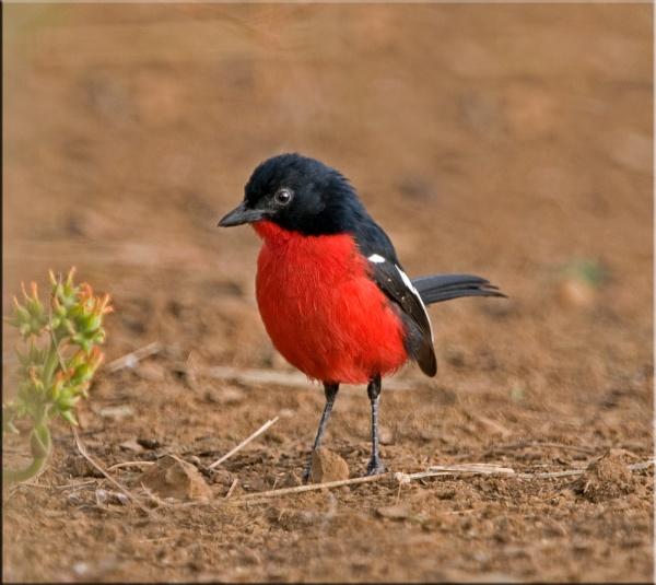 Crimson- breasted Shrike by Gezina