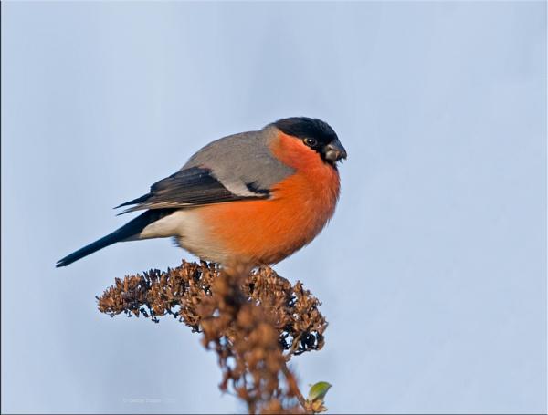 Male Bullfinch by Gezina
