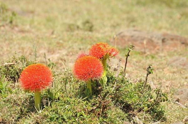 Red flowers, Kenya by HP1485