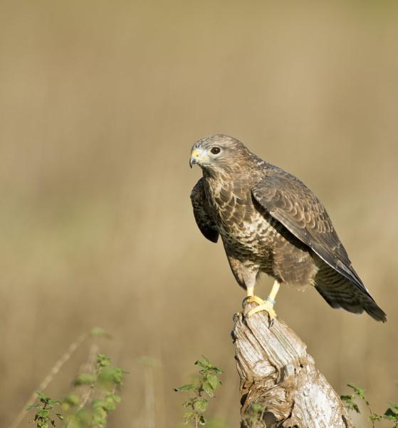 Hunting Buzzard by JohnGubbins
