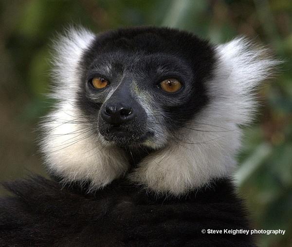 Ruffed Lemur by STEVELIN