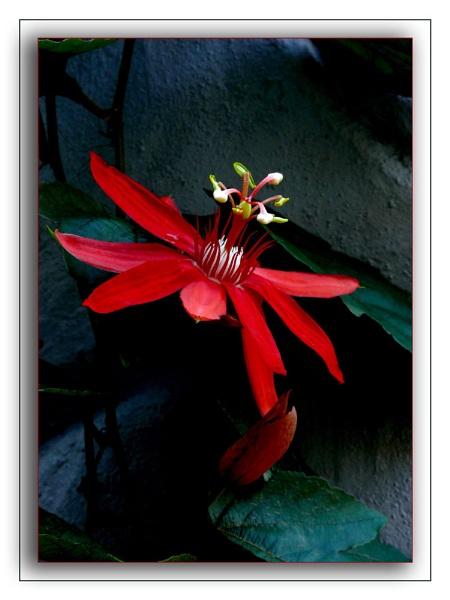 Red Passion Flower by samarmishra