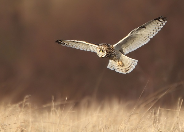 Short Eared Owl by Karen_Summers