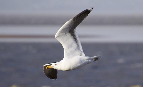 Black Backed Gull by PaulLiley