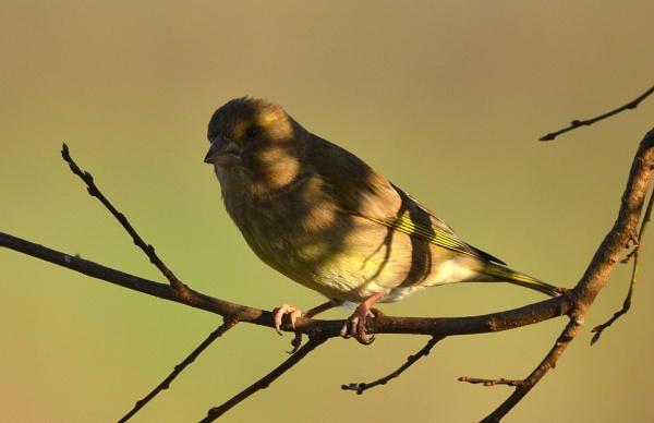 Greenfinch by JoshReptiles