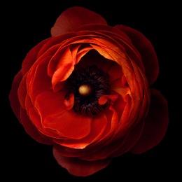 A FLOWERWORK ORANGE... ranunculus