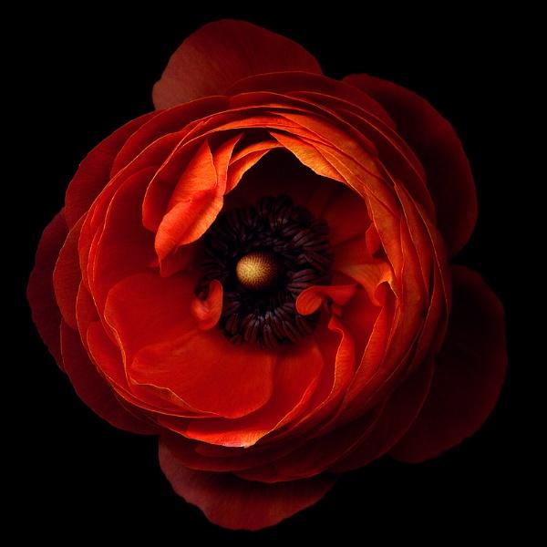 A FLOWERWORK ORANGE... ranunculus by magda_indigo
