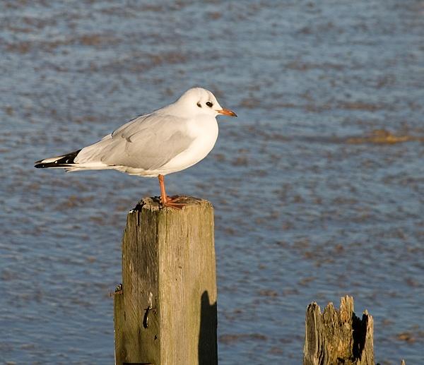 Gull by nbatchford