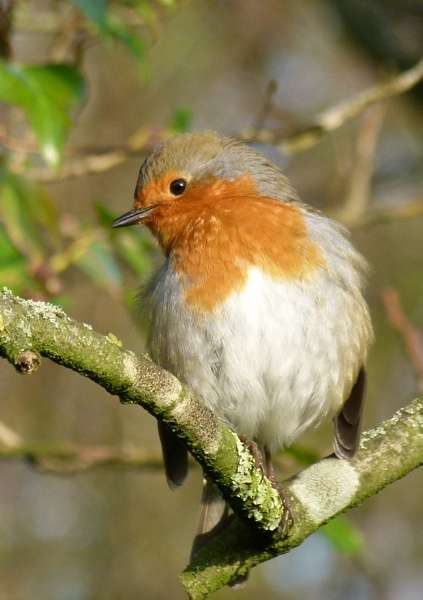 Robin by MartinG365