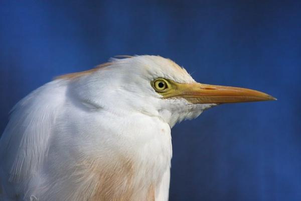 Cattle egret. by robberridge