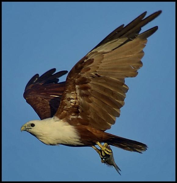 Australian Sea Eagle Feeding Time. by deguest