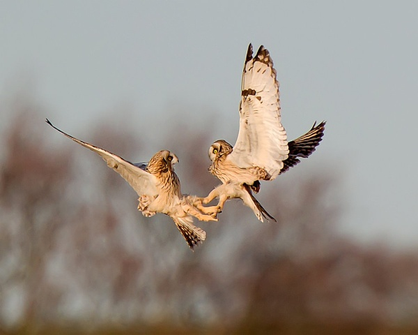 Short Eared Owl Combat by ajh2008