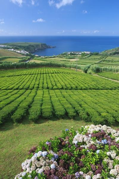 Porto FormosaTea Plantation by livinglevels