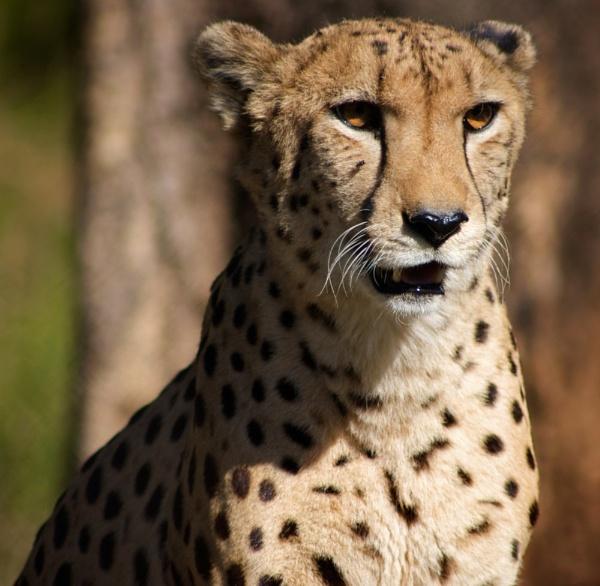 Cheetah by stevew10000