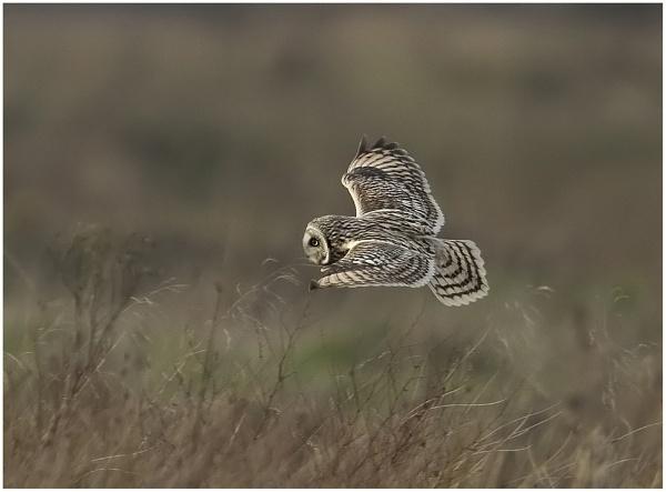 Short Eared owl by MossyOak