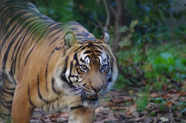 Tiger Patrol by Gooner57