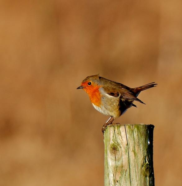 Resting Robin by steve5452