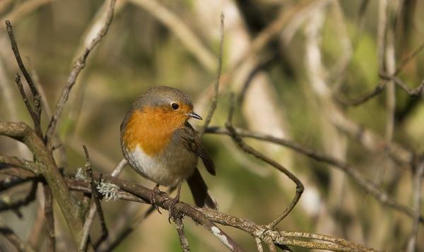 Robin by penzance
