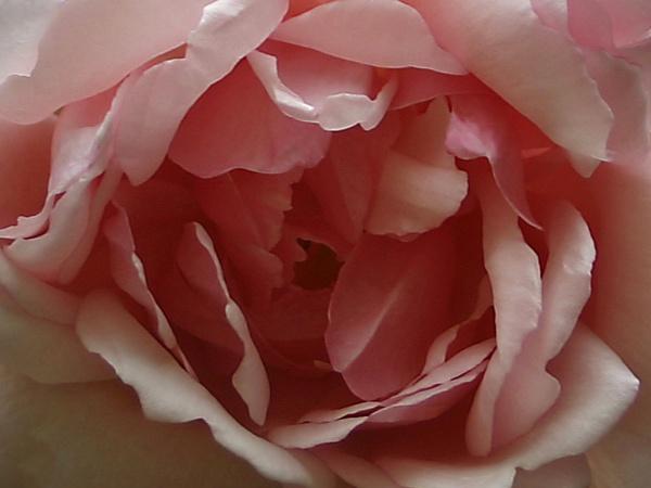 English Rose by videoman