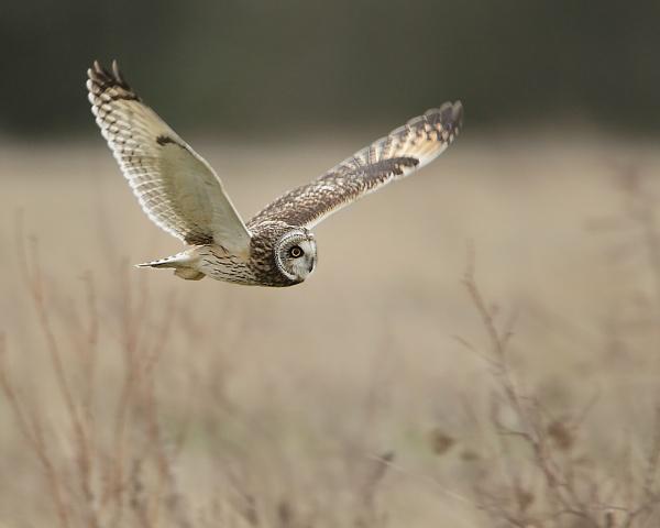 Short eared owl by Steve_S