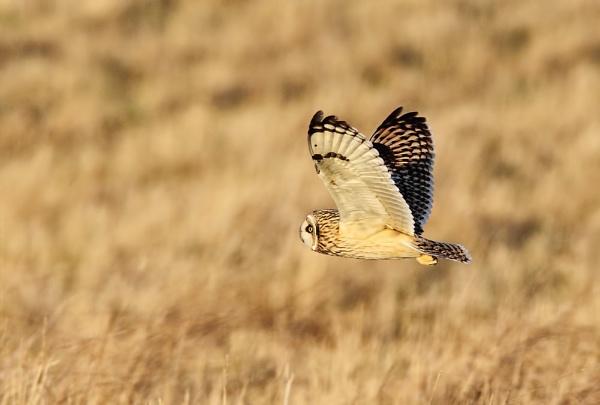 Short Eared Owl by GlenP