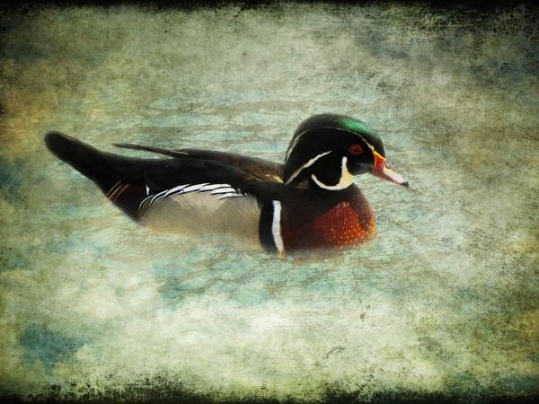 Carolina Duck by gingerdelight