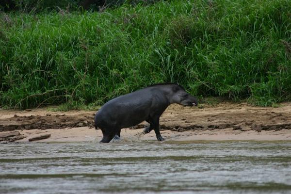 Tapir emerging by Hazelmouse