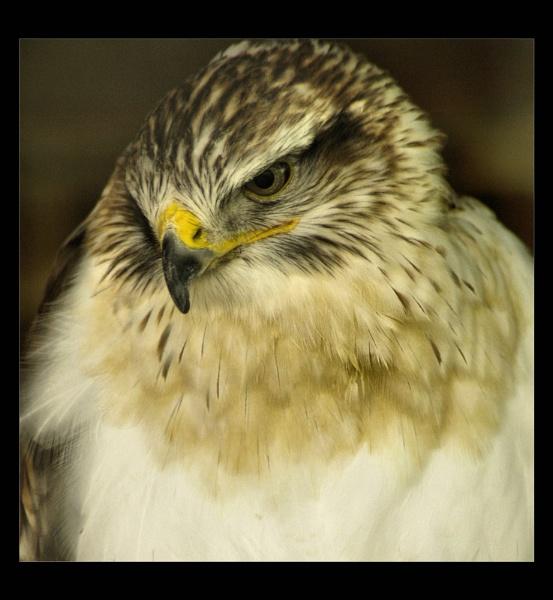 hawk by raygregson