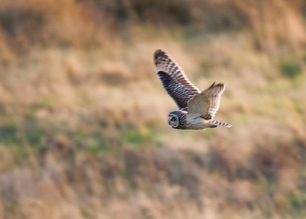 Short Eared Owl by Dinney