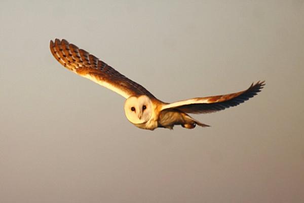 Afternoon Barn Owl II by TerryMcK