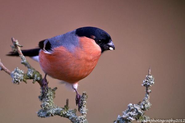 Male Bullfinch by trev4