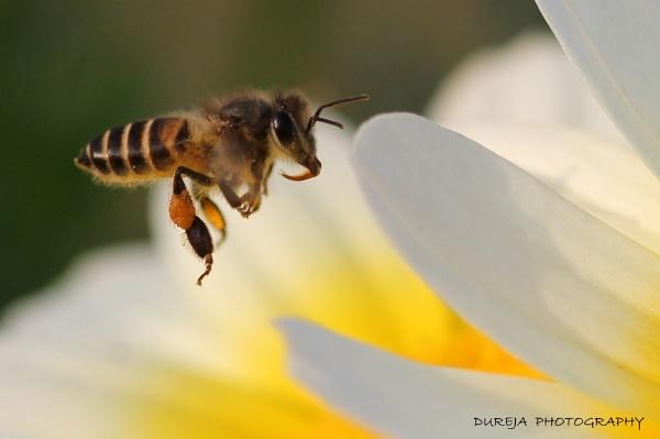 Honey Bee by Dureja